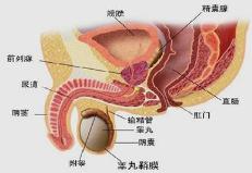 前列腺多大才算正常